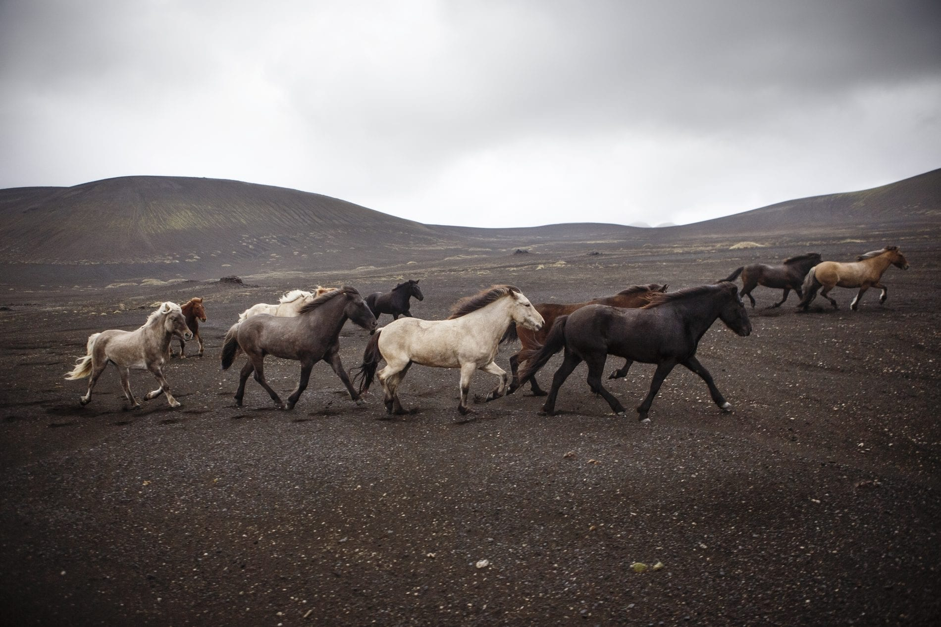 Heard of horses in the black volcanic sand between Landmannalaugar and Hekla