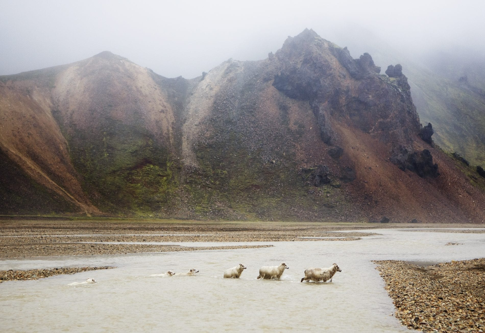 Six sheep swimming and walking crossing a river