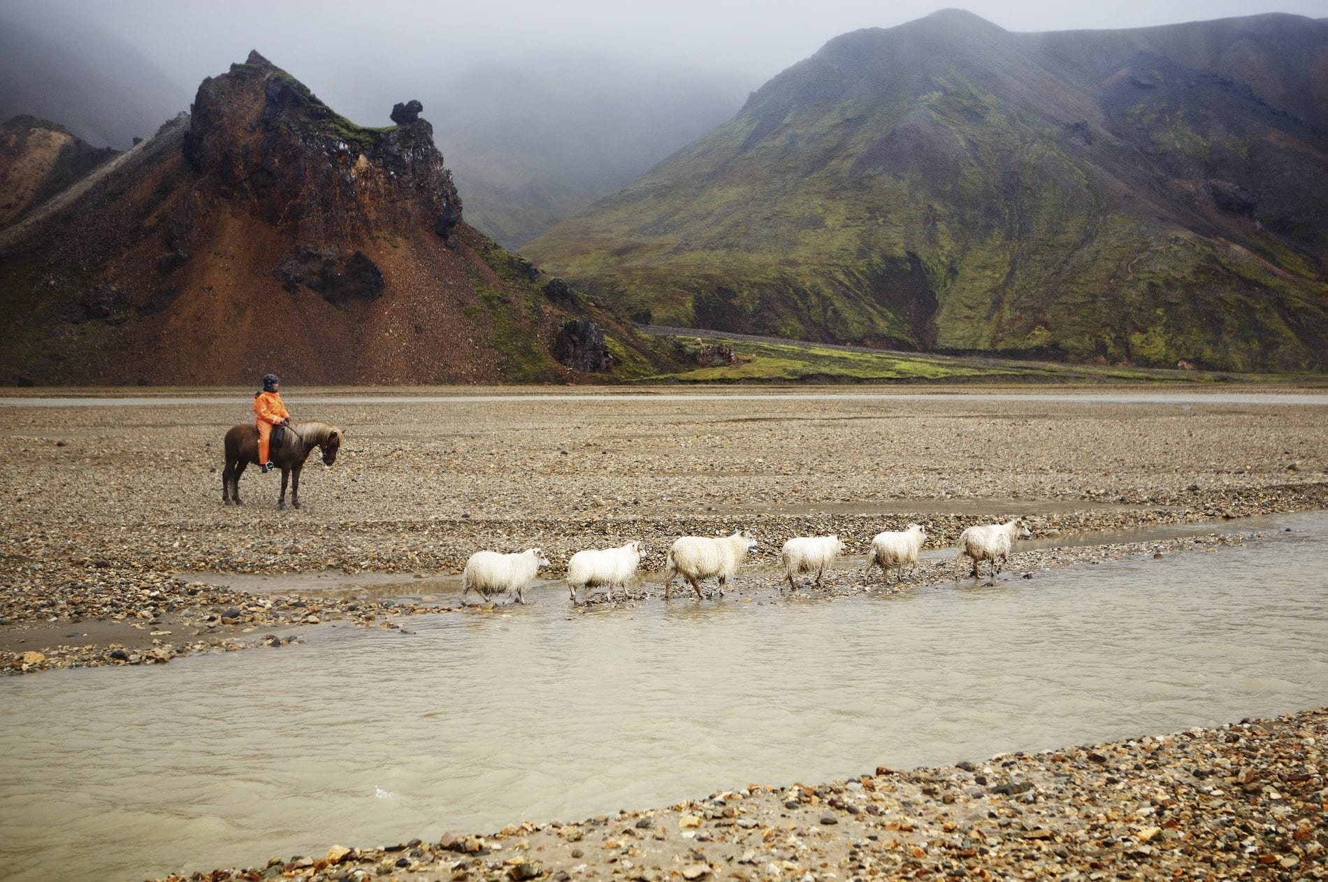 Sheep round up. Six sheep and one person horse riding.