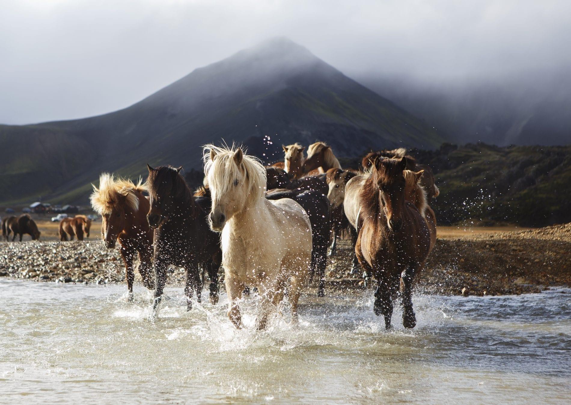 Horses crossing the river by Landmannalaugar