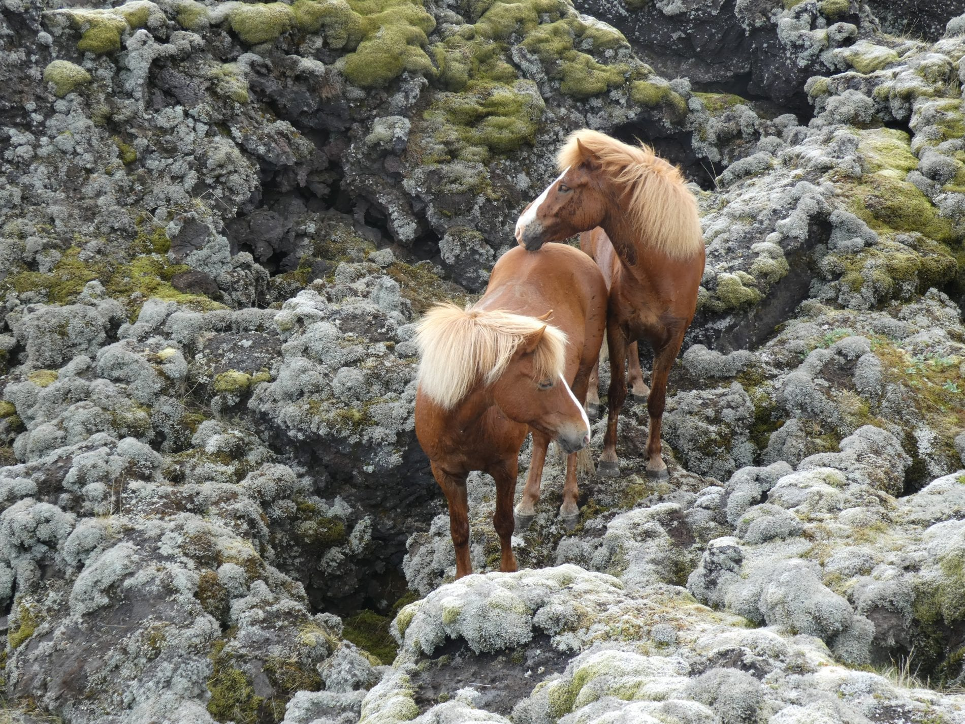Two horses with a blaze surrounded by thick grey and green mossy lava field