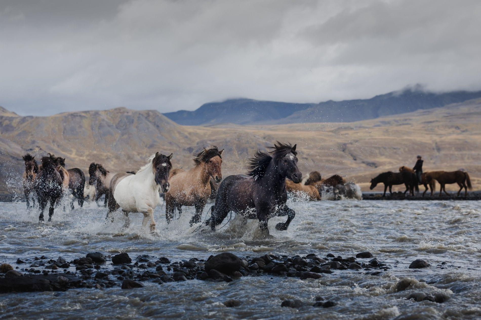 A heard of horses passing a river