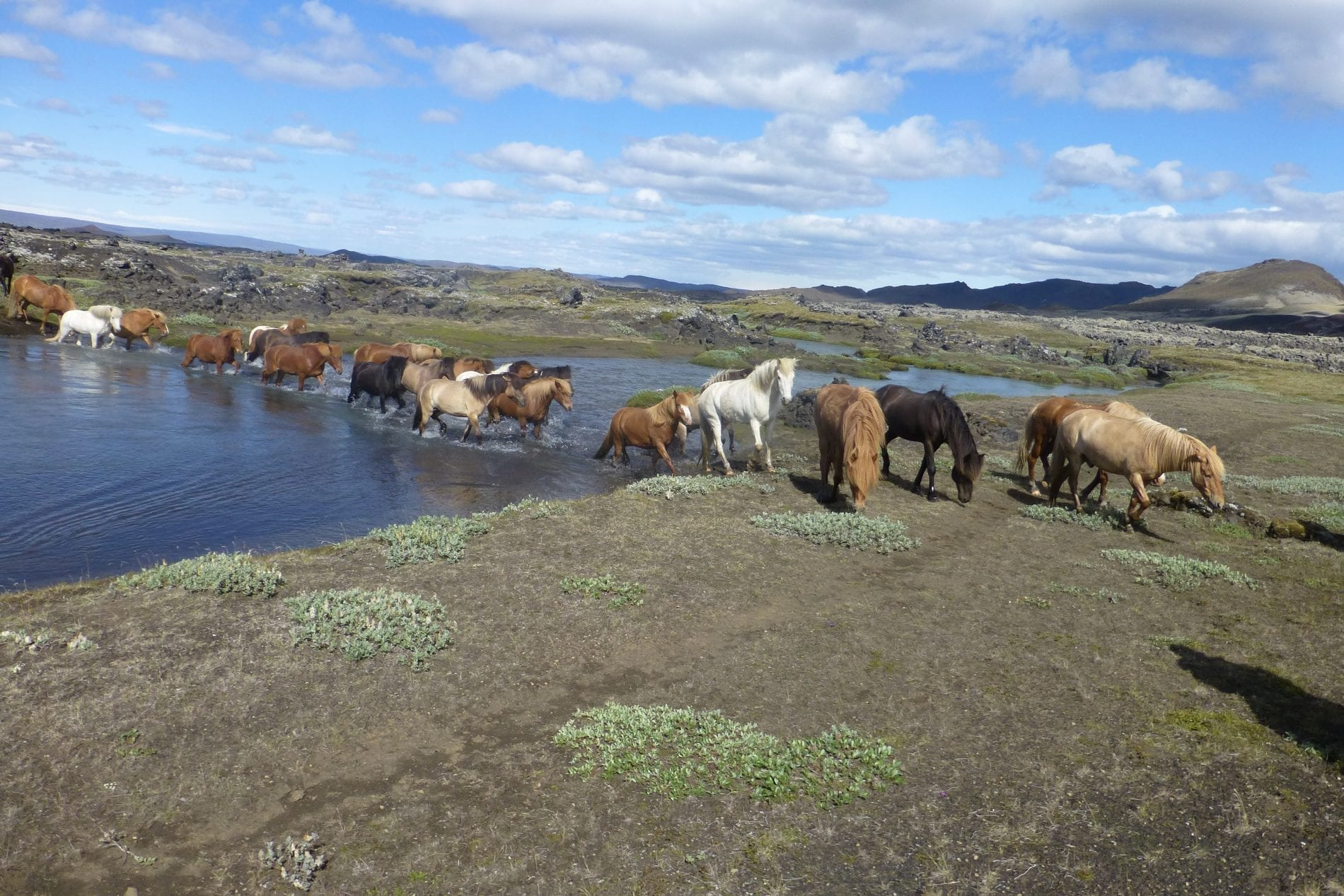A herd of horses calmly cross a river near Landmannalaugar