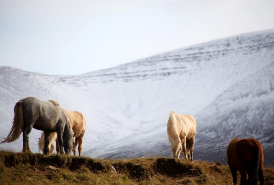 Horses biting grass in the foreground of a snowy mountain