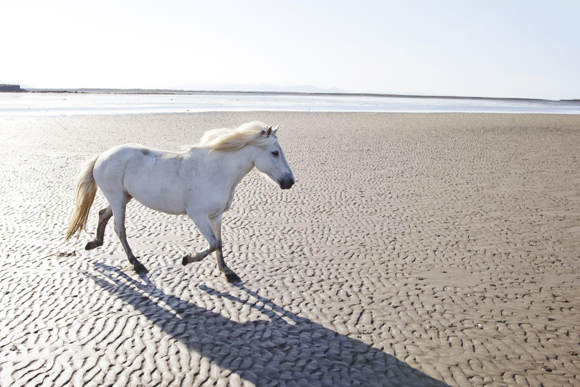 One horse on a light sand coloured beach in Snæfellsnes peninsula