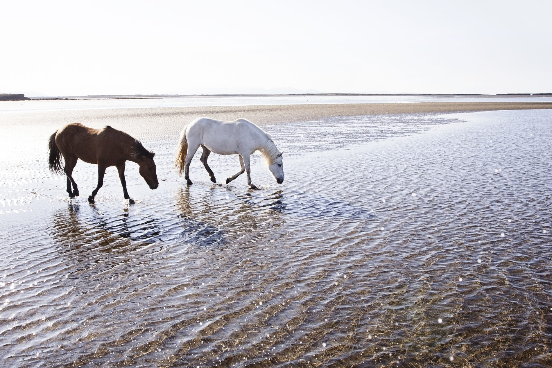 Two contrasted colored horses walking in water