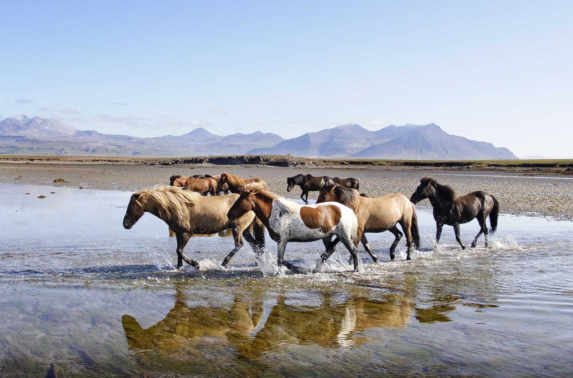 A couple of horses walking in water