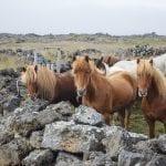 Icelandic horses in north Iceland